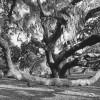 oak tree - Jekyll Island
