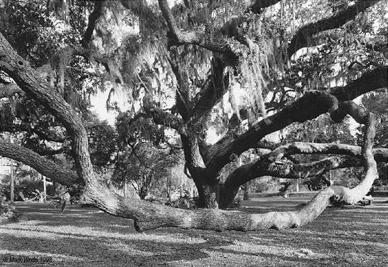 oak tree   Jekyll Island