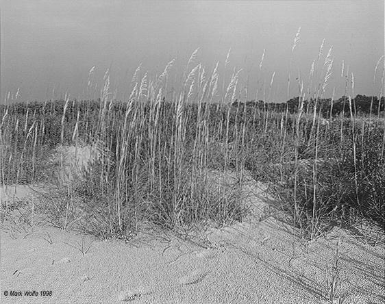 sea oats   Jekyll Island